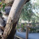 Koala à Philip Island