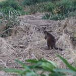 Wallabie à Phillip Island
