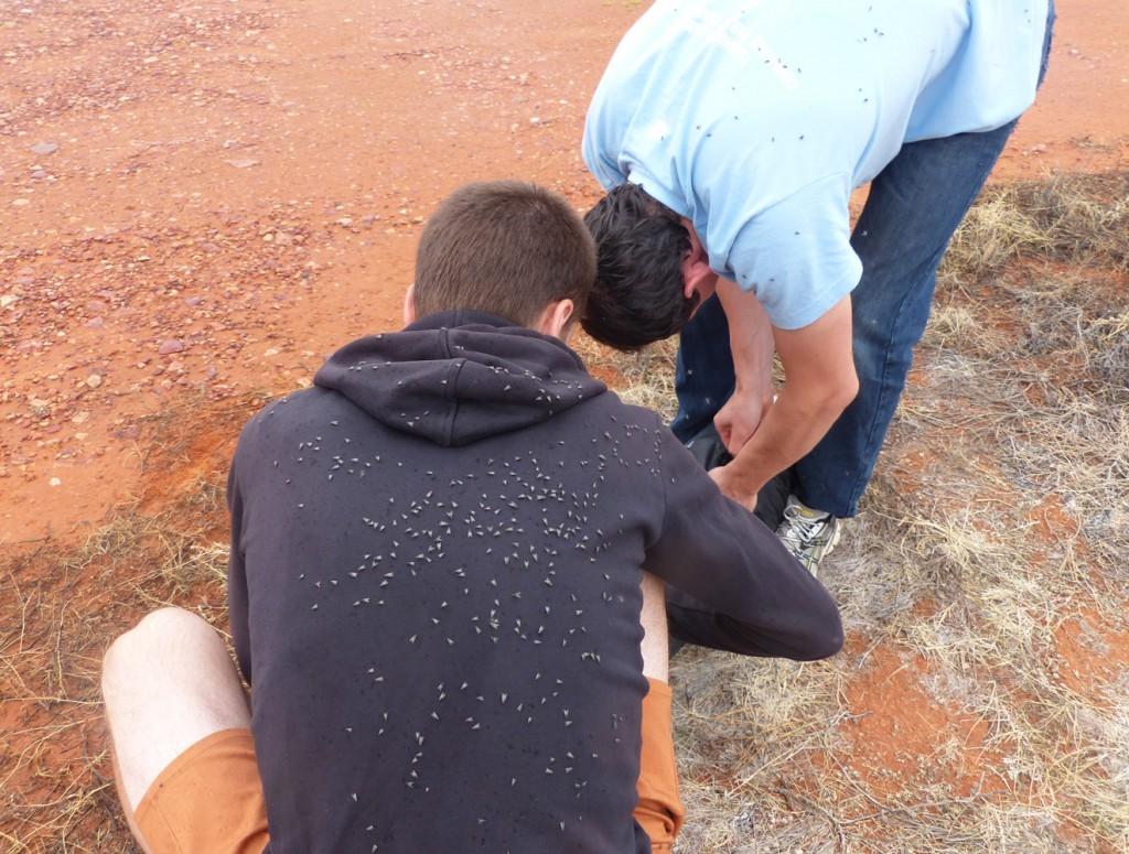 Mouches dans l'ourback australien