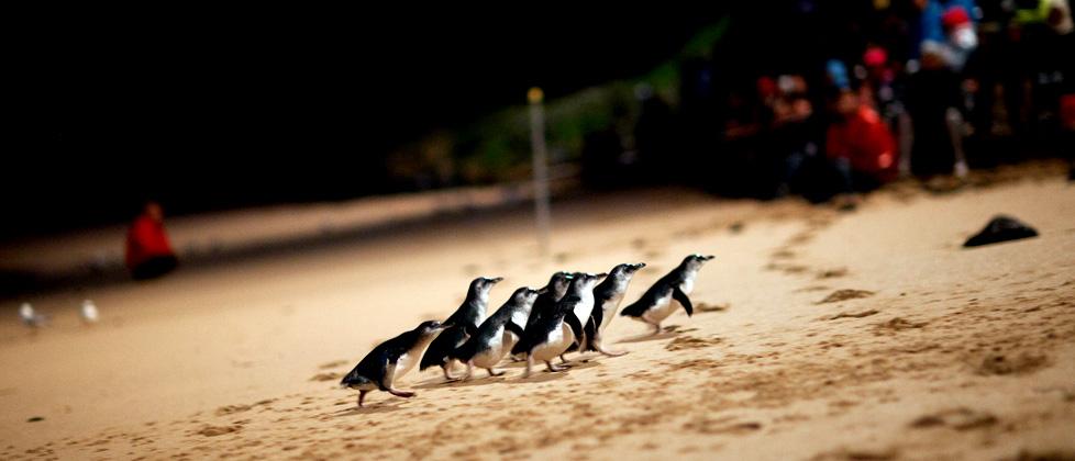 Parade des pingouins à Philip Island